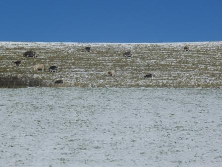 Cattle in the frost on the slopes of Danish Camp