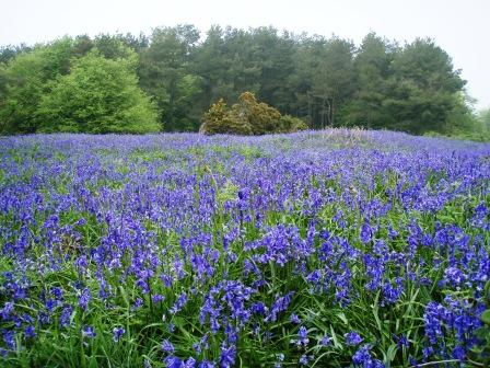 Bluebells at Blackdown